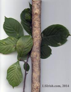elm wood carving walking stick wood