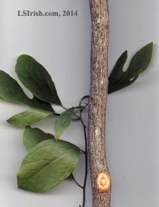 sassafras fro wood carving walking sticks