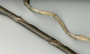sassafras twistie stick