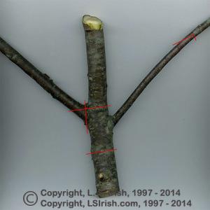 Mountain Man Cane Cherry Wood Pipe
